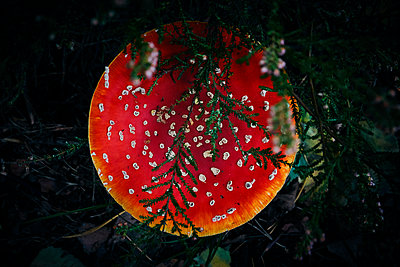 Fly agaric - p851m2186166 by Lohfink