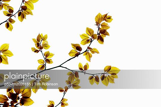 Blätter an einem Baum - p597m2026155 von Tim Robinson