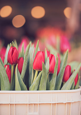 Tulips in a Bucket - p1617m2264070 by Barb McKinney