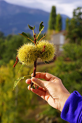 Sweet chestnut - p162m1091431 by Beate Bussenius