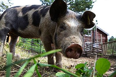Neugieriges Linderö-Schwein I - p235m877592 von KuS