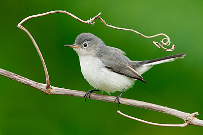 Blue-grey Gnatcatcher , Texas - p884m1129459 by Alan Murphy/ BIA