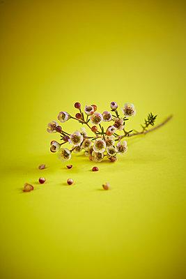 Wachsblume - p1010m2278372 von timokerber