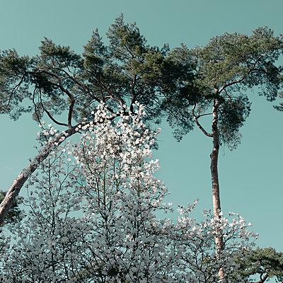 Magnolia tree und pine tree - p1240m2063357 by Adeline Spengler
