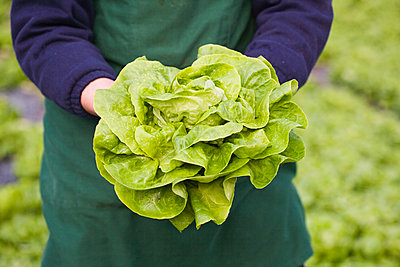 Person holds fresh head of lettuce - p1629m2211322 by martinameier