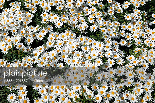 Flower bed with daisies - p388m701857 by Jeffries