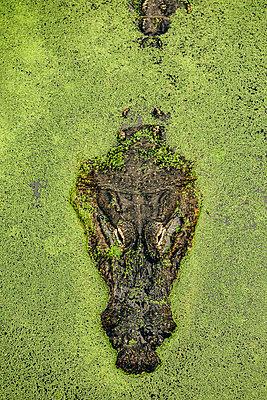 Krokodil - p1393m2087677 von Marlene Gawrisch