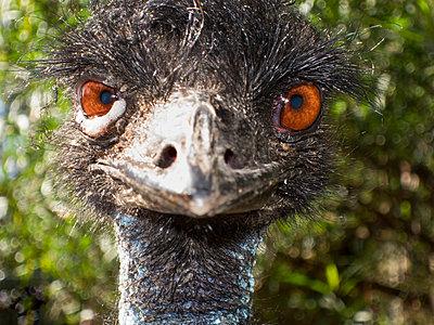 Emu - p628m966175 von Franco Cozzo