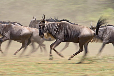 Blue wildebeest (brindled gnu) (Connochaetes taurinus) herd running, Ngorongoro Conservation Area, Tanzania, East Africa, Africa - p871m1073392f by James Hager