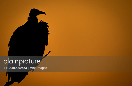 The silhoutte of a hooded vulture, Necrosyrtes monachus, at sunset sitting in a tree - p1100m2292833 by Mint Images