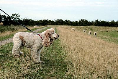 Hund und Schafe am Deich - p4860079 von anneKathringreiner