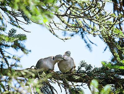 Lovebirds - p533m1496805 by Böhm Monika