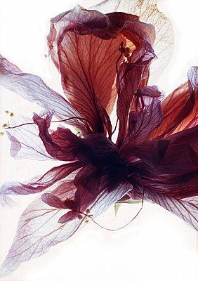 amaryllisbluete - p627m671104 by Hendrik Rauch