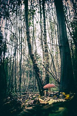Fliegenpilze im Waldboden - p879m2284099 von nico