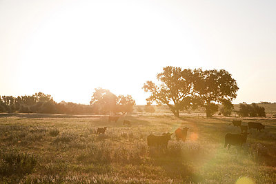 Cows in Field at Sunrise - p6945331 by Andrew Geiger