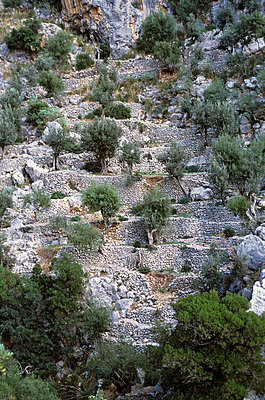 Terrace cultivation of olive trees - p885m890729 by Oliver Brenneisen