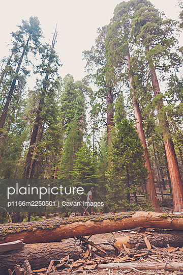 Boy wearing a mask walking on a log among the giant sequoia trees. - p1166m2250501 by Cavan Images