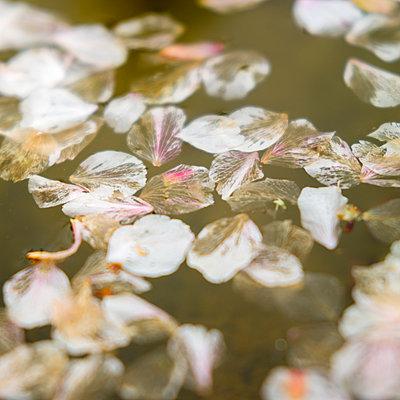Blütenblätter im Teich - p1201m1050054 von Paul Abbitt