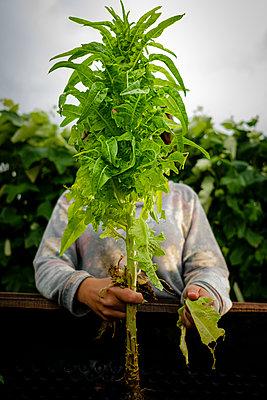 Female gardener picking dead leaves from lettuce plant - p1579m2195703 by Alexander Ziegler