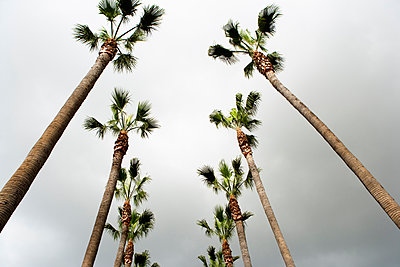 Looking up at two rows of palm trees, Los Angeles, California. - p343m1554789 by Ron Koeberer