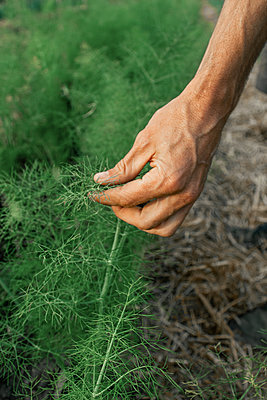 Hand checking growth of dill in the kitchen garden - p1640m2264350 by Holly & John