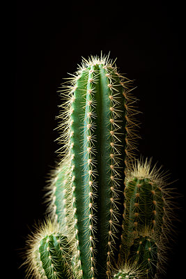 Close-up of cactus against black background - p1166m2009266 by Cavan Images