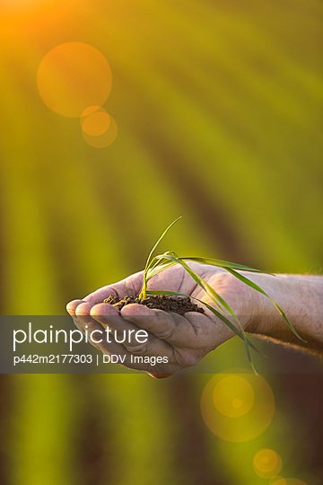 Farmer holding a seedling in his hand with a farm field and crop in the background at sunset; Alberta, Canada - p442m2177303 by DDV Images
