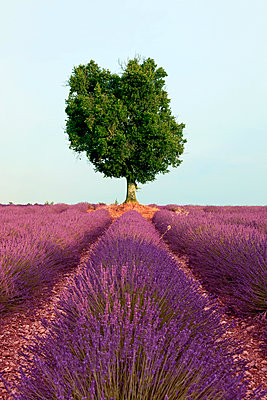 France, Provence, single tree at lavender field - p300m1153696 by Artmedia