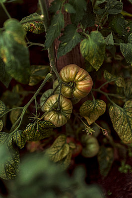 Sling tomatoes - p947m2116552 by Cristopher Civitillo