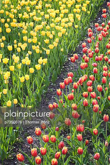 Field of tulips - p7350076 by Thomas Prinz