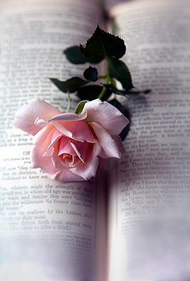 Rose auf einer aufgeschlagenen Bibel - p1248m1467668 von miguel sobreira