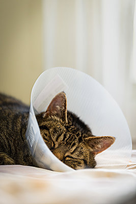 Cat with plastic cone to prevent from scratching after surgery - p1418m2208745 by Jan Håkan Dahlström