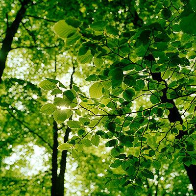 Blätterdach - p949m757927 von Frauke Schumann