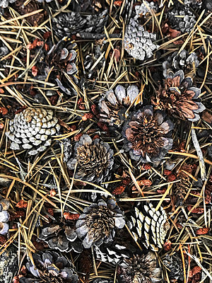 Random pine cones and pine needles  - p1048m2025535 by Mark Wagner