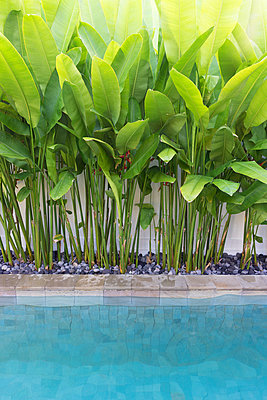 Inviting tropical pool with lush banana leafs - p1166m2124274 by Cavan Images