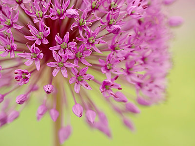 Great lilac-purple spherical allium, Allium hollandicum - p300m2004653 von Brigitte Stehle