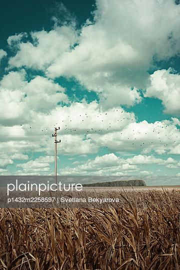 Corn field in summer - p1432m2258597 by Svetlana Bekyarova