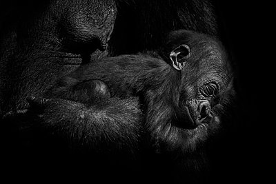 Gorilla baby held by it's mother - p300m2030045 by Mark Johnson