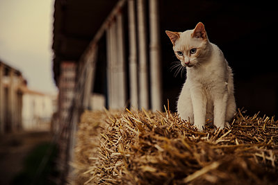 Cat sitting on top of hay bale on farm - p300m2273531 by Aitor Carrera Porté