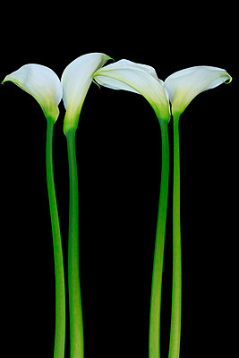 Calla lily  III - p977m1003321 by Sandrine Pic