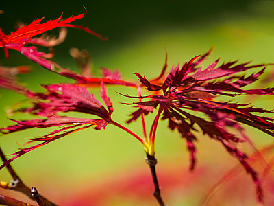 Red maple leaves - p1427m2000055 by WalkerPod Images