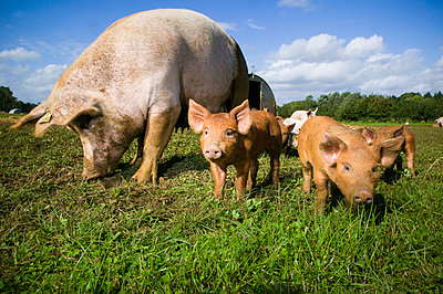 Pig and piglets - p1057m1028465 by Stephen Shepherd
