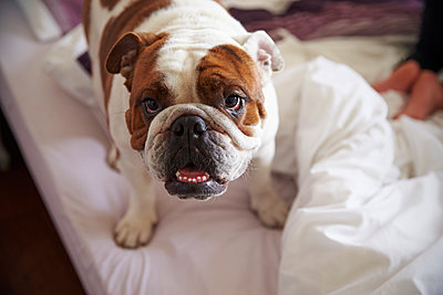 Portrait Of English Bulldog Standing On Bed - p1407m1507642 by Guerrilla