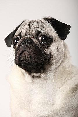 Pugdog - p403m658591 by Helge Sauber