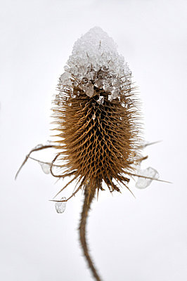 Close-up of a teasel - p8760060 by ganguin