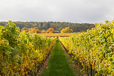 Germany, Rhineland-Palatinate, vineyards in autumn colours, German Wine Route - p300m2042085 by Gaby Wojciech