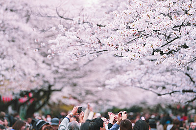 Cherry blossoms - p307m962252f by Jun Tsukida