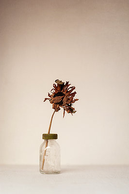 Dried sunflower in glass bottle - p1047m1573287 by Sally Mundy