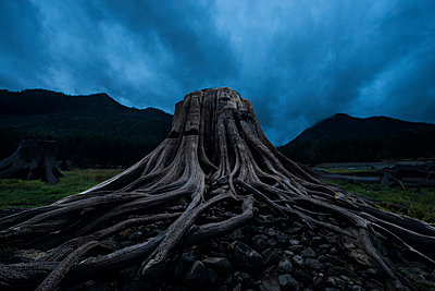 Low angle view of tree stump against stormy clouds at Keechelus Lake - p1166m1489269 by Cavan Images