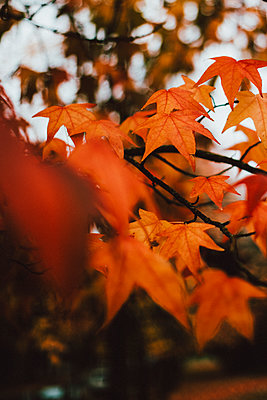 Close up orange autumn leaves on branch - p301m2213630 by Toby Mitchell